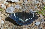 Poppelsommerfugl (Limenitis populi)